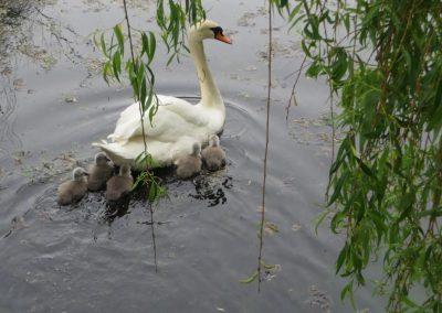 Memories of Wynn and her cygnets in 2018